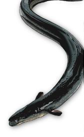 anguila, alimento rico en vitamina D