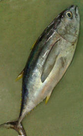 atún, alimento rico en calorías y potasio