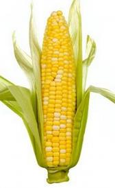 Mazorca de maíz cruda